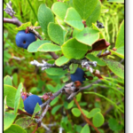 Blueberries_Oct
