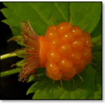 Salmonberries_Sep
